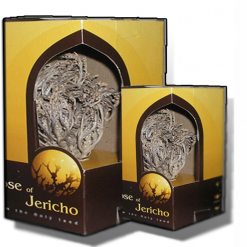 Two real Rose of Jericho